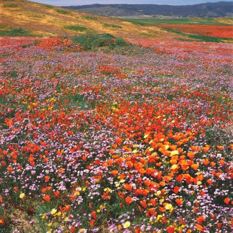Color Photo by Rob Badger and Nita Winter of Poppies and Giliga in Antelope-Valley, California Poppy Preserve